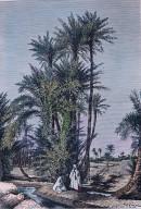 LYBIE : OASIS DE KOUFRA - groupe de palmiers
