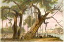 THE BANYAN TREE, ASIA, INDIA, INDIEN, OLD PRINT, ENGRAVING, PLAT