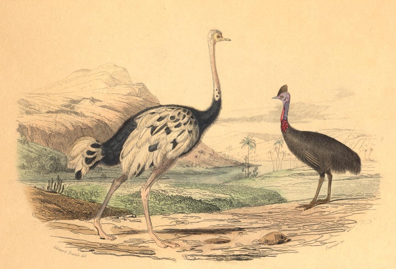 L'AUTRUCHE ET LE CASOAR : Bird, ostrich, engraving, plate, print