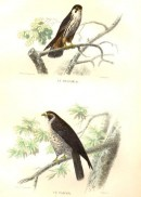 LE HOBEREAU, LE FAUCON, : Bird, falcon, hawk, Buffon, Traviès, e