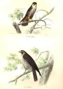 LE HOBEREAU, LE FAUCON, : Bird, falcon, hawk, Buffon, Traviès, e