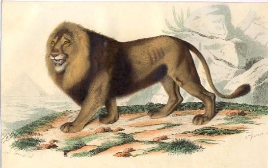 LE LION, mammal, gravure, engraving, plate, print, Buffon, Travi
