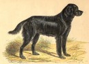 DOG : LE GORDON SETTER DE L'ANCIEN TYPE, animal, mammal, engravi