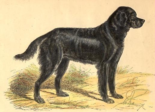 DOG : LE GORDON SETTER DE L'ANCIEN TYPE, animal, mammal, engravi