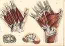MUSCLES OF THE PALM OF YOUR HAND: Medicine, Anatomy, engravings,