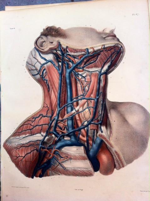 VEINES DU COU, en rapport avec les artères